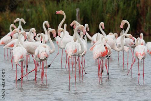 Foto op Aluminium Flamingo uccello acquatico fenicottero rosa