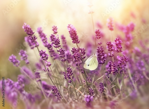 Beautiful nature - lavender flowers and butterfly