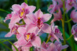 Branch of gently pink orchid