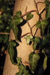 Efeuranken um dünnem Baumstamm