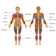 vector muscular human body, muscle man anatomy, - 81035511
