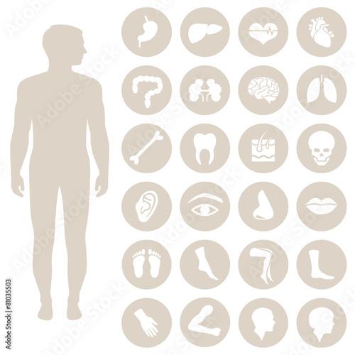 human body anatomy, vector medical organs icon, - 81035503