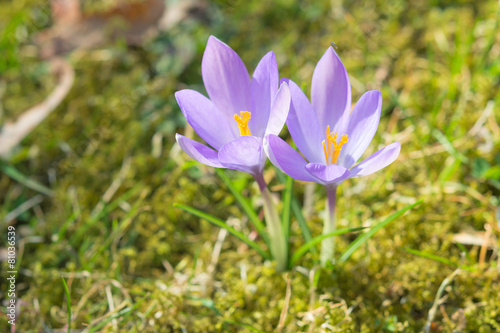 Foto op Canvas Iris Spring sunlight crocus pastel flowers on sunshine Alpine meadow