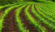 Leinwandbild Motiv Kurvige Reihen im Maisfeld