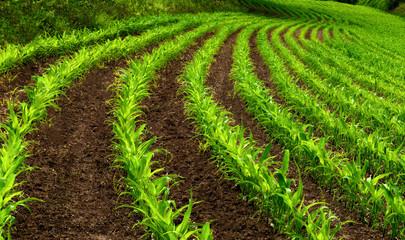 Kurvige Reihen im Maisfeld