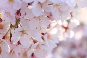 満開の桜 日本の春