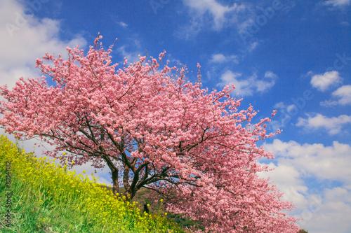 Tuinposter Kersen 桜