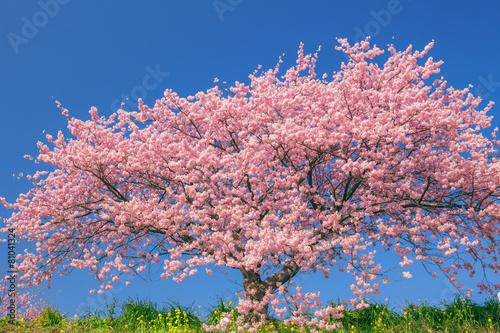 Foto op Plexiglas Kersen 桜