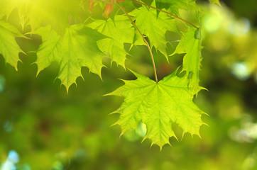 Spring leaf of maple