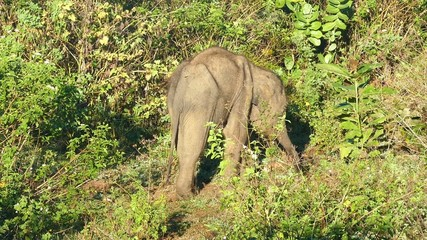 small fun indian baby elephant in jungle