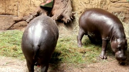 Pygmy hippopotamus  have dinner at Zoo