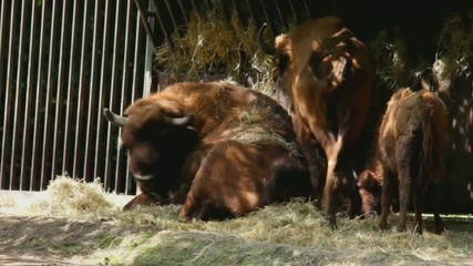 Group of Bisons  have good dinner at Zoo