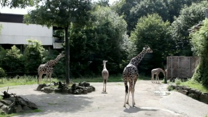 Group of giraffes standing in the bright sunlight  at the zoo