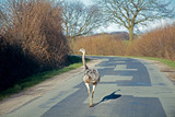 feral greater rhea (nandu) walking on a country road in northern poster