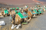 Camels in Timanfaya, waiting for tourists, Canary Islands