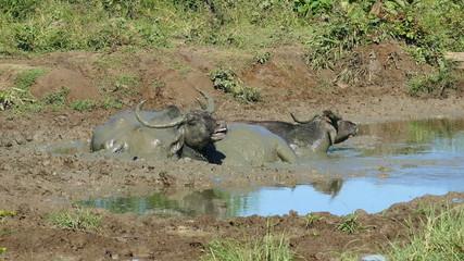 three wild buffalo lying in the mud