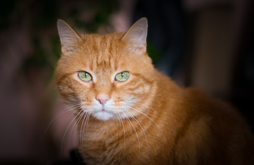 Lovely red cat looking into the camera. Soft focus.