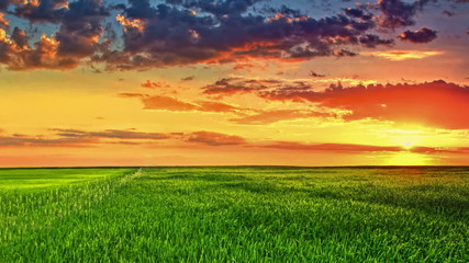 Sunset above the green wheat field, real time. Panoranic motion