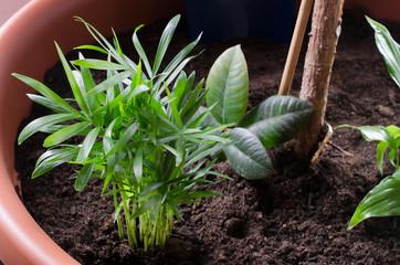 Pflanztopf mit Bergpalmen, Gummibaum