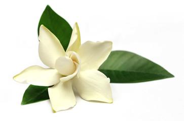 Gardenia or Gondhoraj flower of Southern Asia