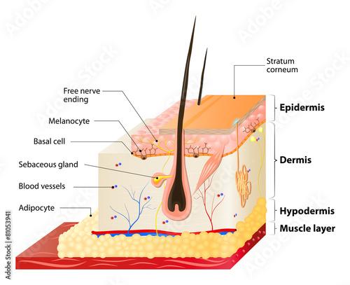 Fototapeta skin layers