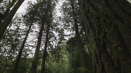 Pacific Northwest Rainforest Trees