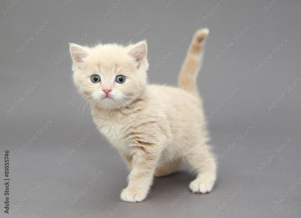 kot kociak beżowy - powiększenie