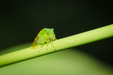 Little green grasshopper resting