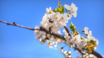 White aplle blossom in Valencia