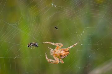 European garden spider caught a a bee