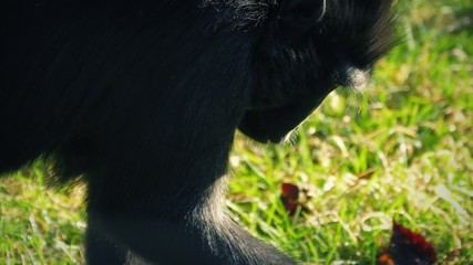 Monkey Finding Food To Eat In The Grass