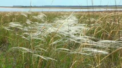 Feather grass.