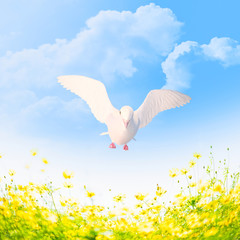 White pigeon in flight over the blossoming meadow.