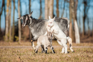 Goat mother with two kids walking outdoors