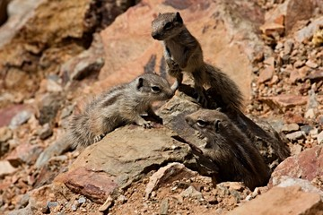 babies of ground squirrels in the mountains of northern Morocco