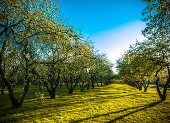 apple trees plantation