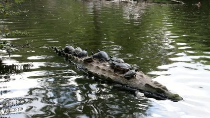 Turtles on a crocodile