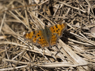 Polygonia c-album. Comma butterfly basking in sunshine on