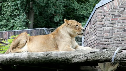 Lioness lying in her enclosure and rest after a hearty lunch