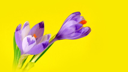Two blooming crocuses on yellow background in timelapse