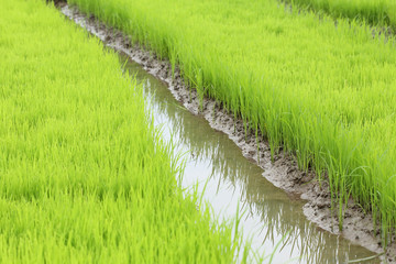 agriculture of small rice sprout in cultivated area
