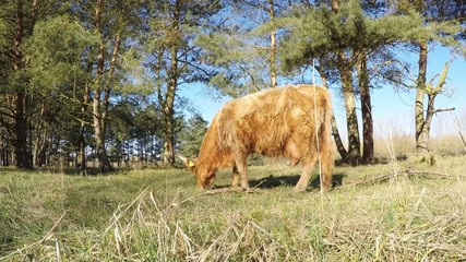 Heck cattle grazing