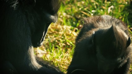 Mother Monkey Plucking Insects Off Baby