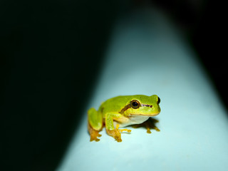 Tree Frog on a water tank