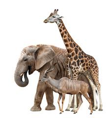 Giraffe, Elephant and Kudu isolated on white