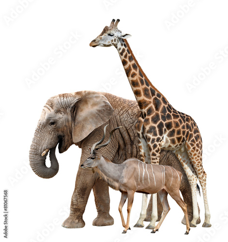 Foto op Plexiglas Olifant Giraffe, Elephant and Kudu isolated on white