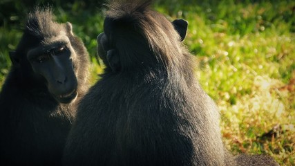 Long Faced Monkeys Enjoying The Sun