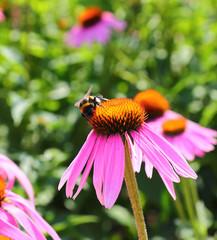 bumblebee on flowers of Echinacea purpurea
