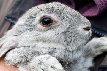 gray bunny closeup in the hands of man