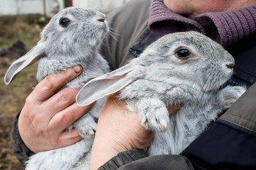 two gray rabbit closeup in the hands of man
